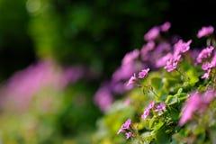 växt av släkten Trifolium Royaltyfri Bild