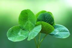 växt av släkten Trifolium Fotografering för Bildbyråer