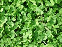 Växt av släkten Trifolium royaltyfria foton