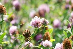 växt av släkten Trifolium blommar purple Royaltyfria Bilder