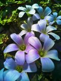 växt av släkten Trifolium blommar purple Royaltyfri Bild