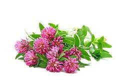 växt av släkten Trifolium blommar trefoil Royaltyfri Foto