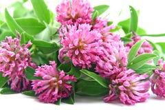 växt av släkten Trifolium blommar trefoil Arkivbild