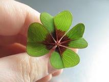 Växt av släkten Trifolium för Leave fyra Arkivbild
