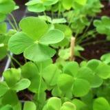 Växt av släkten Trifolium för Leave fyra Royaltyfri Fotografi