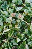 växt av släkten Trifolium fozen gräs Royaltyfri Fotografi