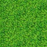 Växt av släkten Trifolium lämnar för att texturera Arkivfoton
