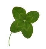 Växt av släkten Trifolium med fyra broschyrer Royaltyfri Fotografi