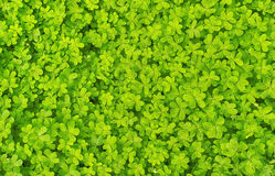 Växt av släkten Trifoliumbakgrund Arkivbild