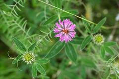 växt av släkten Trifoliumblommapink Fotografering för Bildbyråer