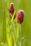 växt av släkten Trifoliumcrimson Arkivfoton