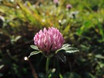 växt av släkten Trifoliumdagg Arkivfoto
