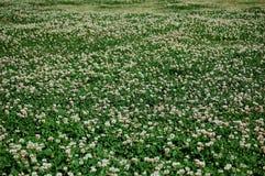 växt av släkten Trifoliumfält Royaltyfri Bild