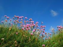 växt av släkten Trifoliumfält Royaltyfri Fotografi