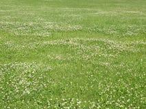 växt av släkten Trifoliumfältgreen Royaltyfria Foton