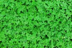 växt av släkten Trifoliumgräslawn Arkivfoto