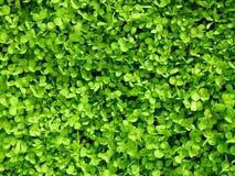växt av släkten Trifoliumgreen Royaltyfri Foto