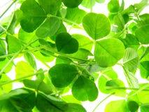 växt av släkten Trifoliumgreen Arkivbild