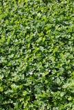 växt av släkten Trifoliumgreen Royaltyfria Foton