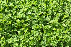 växt av släkten Trifoliumgreen Royaltyfria Bilder