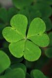 växt av släkten Trifoliumgreen Royaltyfri Fotografi