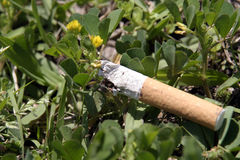 växt av släkten Trifoliumkull Arkivbild
