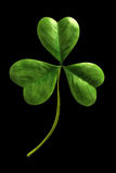 växt av släkten Trifoliumleaf Royaltyfri Foto