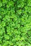 växt av släkten Trifoliumleaf tre Arkivfoto