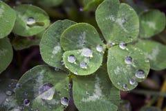 växt av släkten Trifoliumleaf tre Royaltyfri Fotografi
