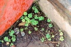 växt av släkten Trifoliumleaf tre Royaltyfri Foto