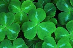 växt av släkten Trifoliumleaves Fotografering för Bildbyråer