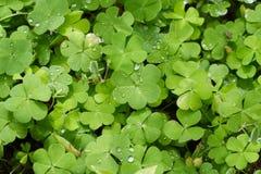 växt av släkten Trifoliumleaves Royaltyfria Bilder