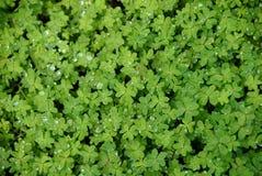 växt av släkten Trifoliumoxalis Arkivbilder