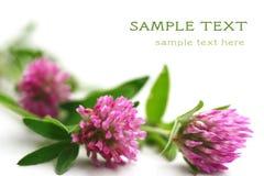 växt av släkten Trifoliumpink Arkivbild