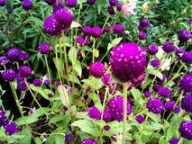 växt av släkten Trifoliumpurple Fotografering för Bildbyråer