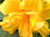 växt av släkten Trifoliumpurple Arkivfoton