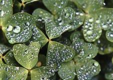 växt av släkten Trifoliumraindrops Royaltyfria Foton