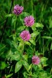 växt av släkten Trifoliumred Royaltyfria Bilder