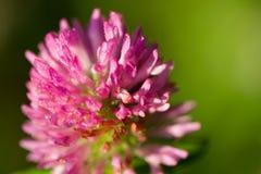 växt av släkten Trifoliumred royaltyfri fotografi