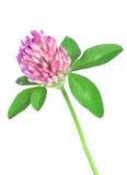 växt av släkten Trifoliumred Royaltyfri Foto