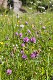 växt av släkten Trifoliumred Arkivfoto