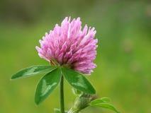 växt av släkten Trifoliumred Royaltyfri Bild