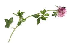 växt av släkten Trifoliumred Arkivfoton