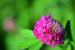 växt av släkten Trifoliumred Arkivbilder