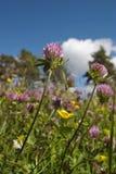 växt av släkten Trifoliumred Fotografering för Bildbyråer