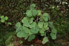 växt av släkten Trifoliumshamrock Royaltyfria Bilder