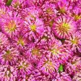 växt av släkten Trifoliumtextur Royaltyfria Foton