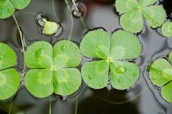 växt av släkten Trifoliumvatten Fotografering för Bildbyråer