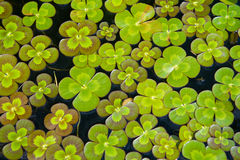 växt av släkten Trifoliumvatten Royaltyfri Fotografi