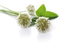 växt av släkten Trifoliumwhite Royaltyfri Fotografi